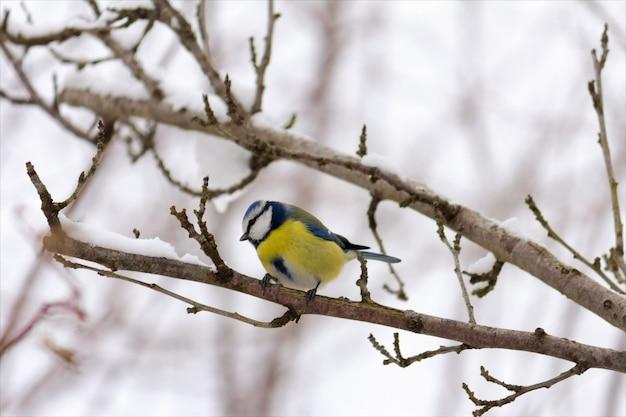 木の枝に青い羽を持つ若い鳥四十雀