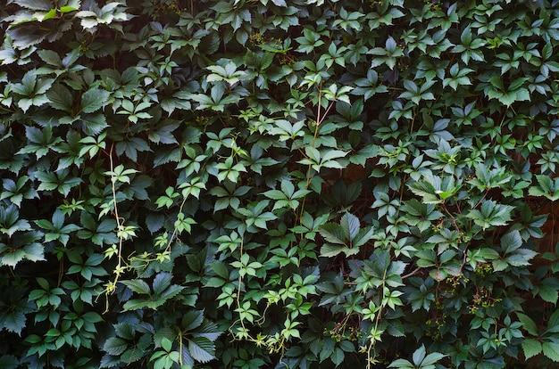 野生のブドウがレンガの壁に並ぶ