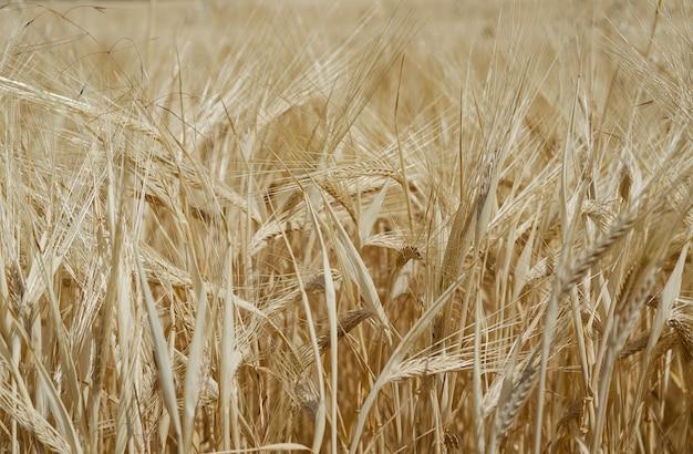 フィールドの黄色い芽ライ麦