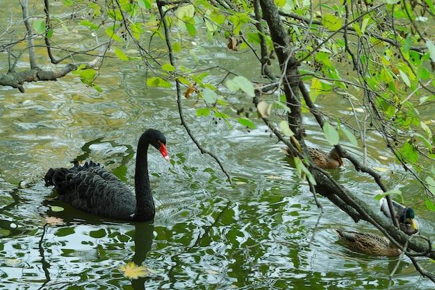 Черный лебедь плывет в пруду осеннего дня