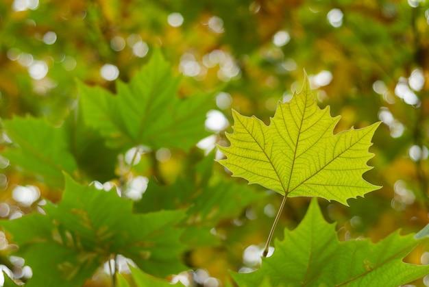 秋の公園で黄色のカエデの葉