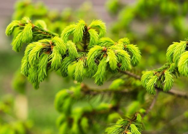 トウヒの枝に若い針