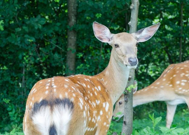 公園のクローズアップの鹿