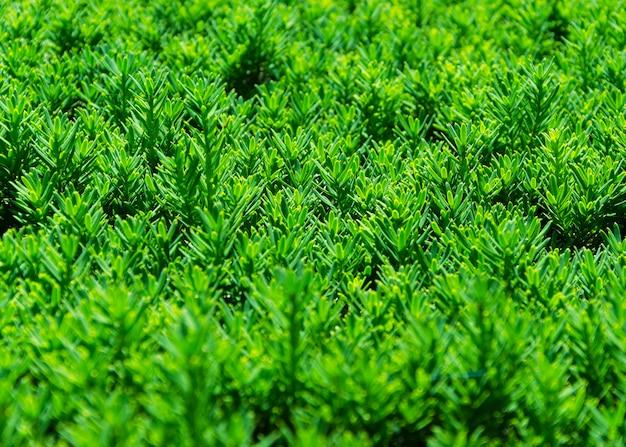 緑のトリミングされた茂みのクローズアップ