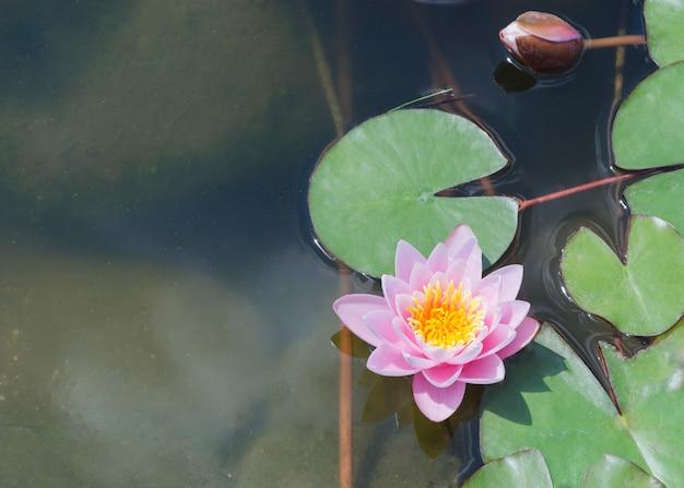 池のピンクの睡蓮の花