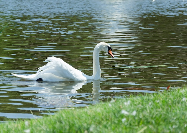 Скулят лебедь, плавающий в пруду