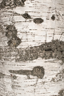 白樺の樹皮のテクスチャー