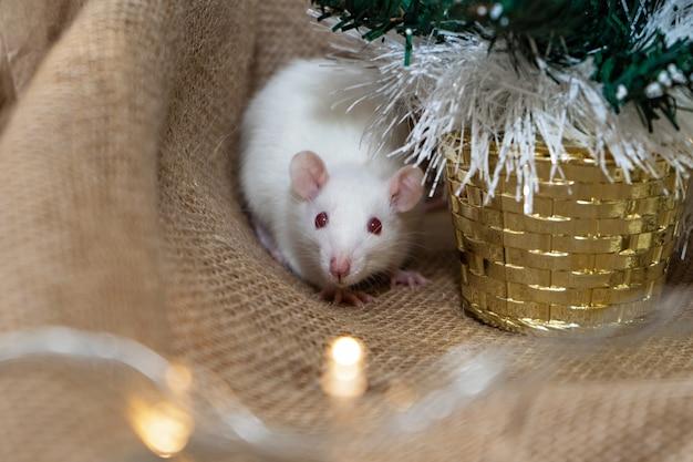 Белая крыса сидит возле елки