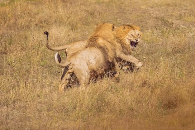 Два льва в дикой природе борются. красивые свободные львы