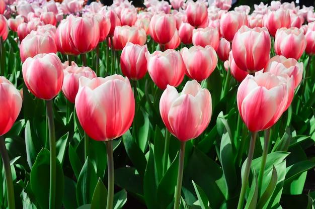 Поле красивых розовых тюльпанов. весенняя фоновая открытка