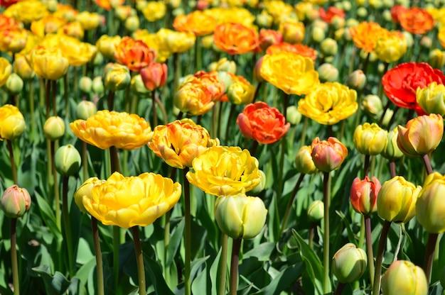 春の庭に黄色と赤の装飾的なチューリップの花の美しいフィールドが咲きます。