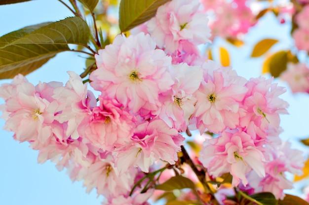 さくらの花桜が咲いています。ピンク。春のコンセプトです。