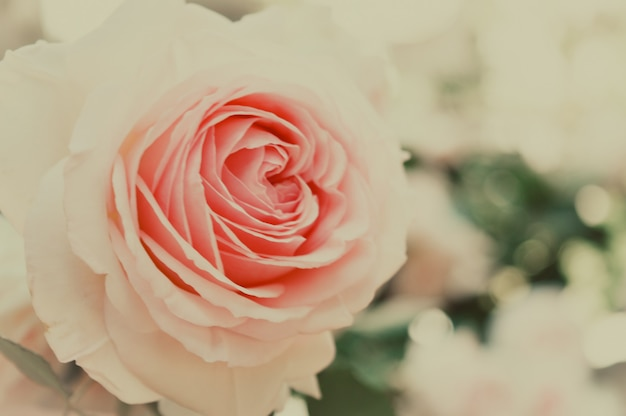 美しいパステルカラーのバラの花