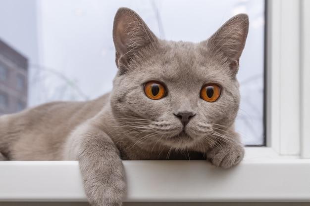 高貴な自慢の猫が窓辺に横になっています。