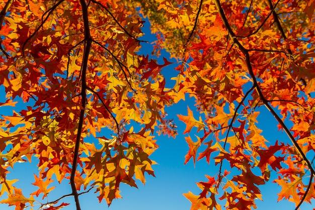 Красные кленовые листья против голубого неба. осенняя концепция.
