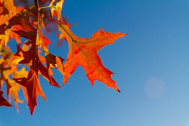 Красные кленовые листья против голубого неба. осенняя концепция. крупный план