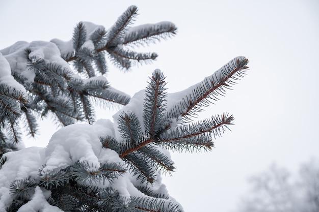 屋外の冬の公園でモミの枝に白い雪。雪でスプルースの枝。クローズアップ、セレクティブフォーカス