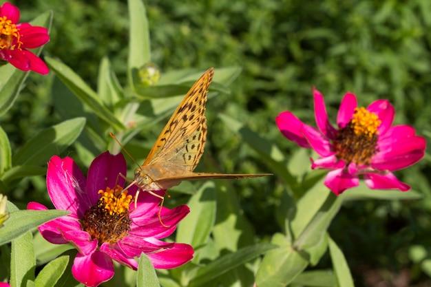 蝶は明るいピンクの花に座っています。大きい。