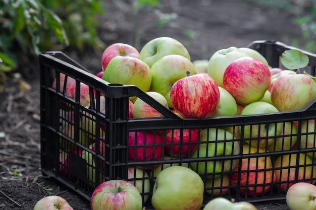 Красные, желтые и зеленые яблоки, собранные в саду. яблоки в пластиковом ящике на земле. сбор яблок.