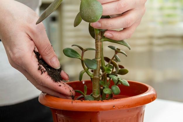 家の植物を新しいポットに移植する女性。クラッスラ移植。