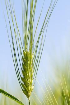 晴れた日の緑の麦畑。ライ麦の穂が農地で育っています。