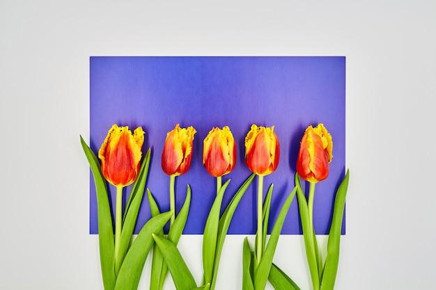 コピースペースと白紫の背景の上に横たわる赤黄色のチューリップのトップビュー