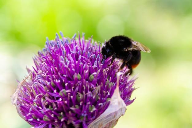 夏の日に紫の花にマルハナバチのクローズアップ