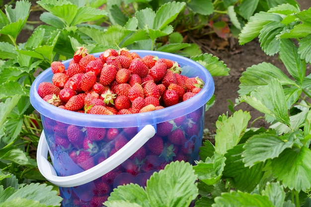 夏の庭で新たに選んだイチゴのフルバケツ