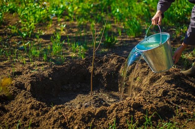 春の庭でバケツの若い果樹から水をまくの庭師。