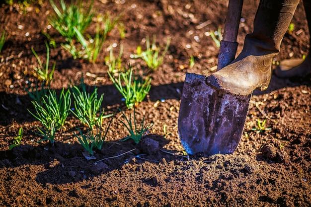 労働者は家庭菜園でシャベルで黒い土を掘ります