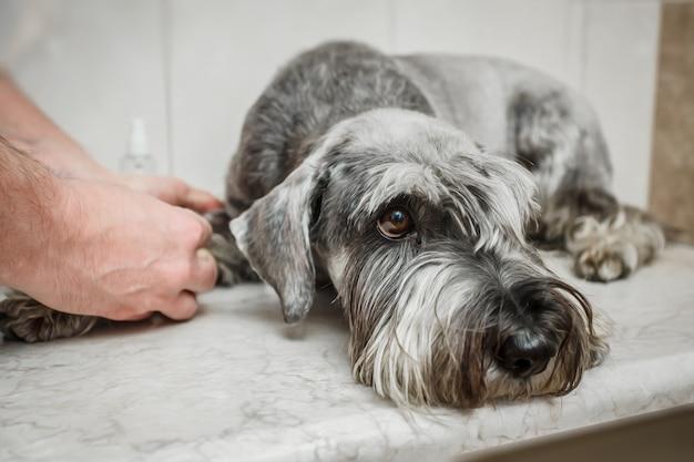 獣医は注射器を使って血液をチェックしています。犬の健康を分析します。品種-シュナウザー