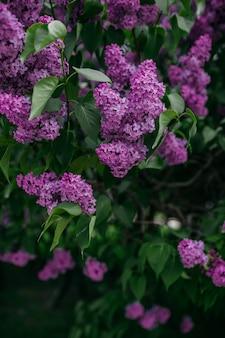 春に咲く紫のライラックの花