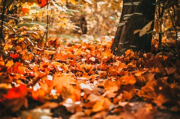 Сильные теплые солнечные лучи освещают сухие золотистые листья бука, дуба и клена, покрывающие лесную почву. утренняя концепция в осеннем лесу. теплый осенний лес.