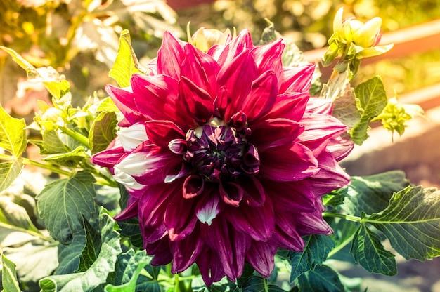晴れた日の紫色のダリアの花