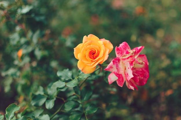 春の庭の黄色いバラの美しいブッシュ。バラの庭。