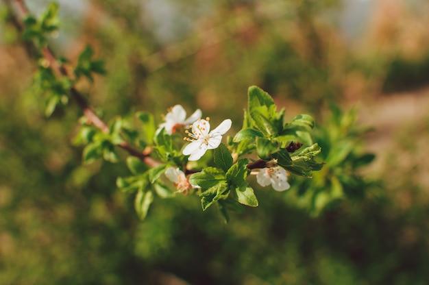 ソフトフォーカスでアプリコットの木の花。木の枝に春の白い花。