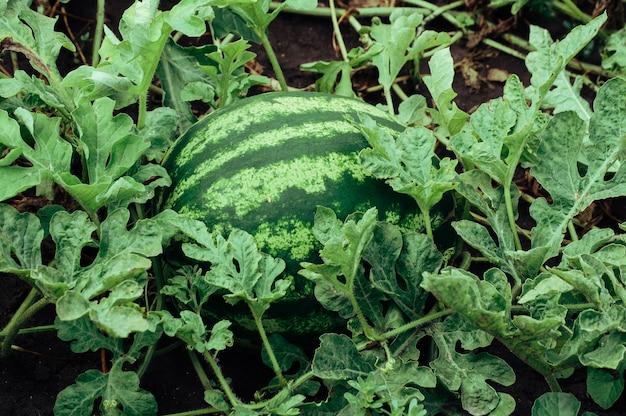 夏には庭に緑のストライプの大きなスイカが生えています。プランテーションで熟したジューシーな果物が育ちます。収穫のコンセプト。