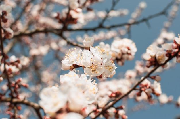 Абрикосовое дерево цветы с мягким фокусом. весенние белые цветы на ветке дерева.