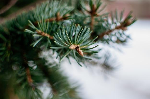 Креативный макет голубых еловых веток. шаблон для дизайна на рождественские праздники.