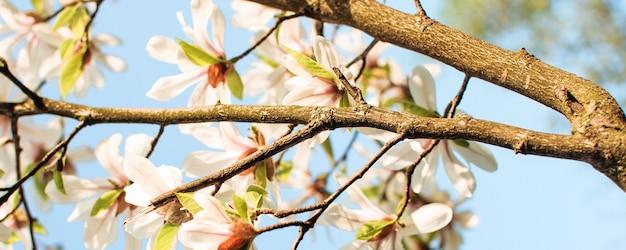 Цветущие цветы магнолии на дереве