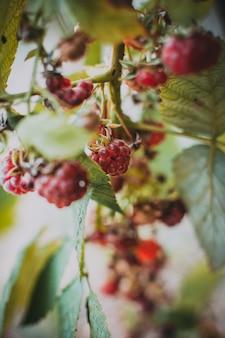 熟したラズベリーの枝