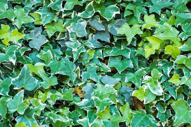 アイビー(ヘデラ)。壁は葉で覆われています。自然の緑の背景。