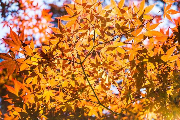 Красные кленовые листы при голубое небо запачкало, принятый от японии.