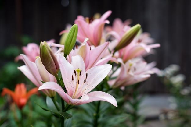 緑の葉の背景に美しいユリの花。庭のユリユリの花。