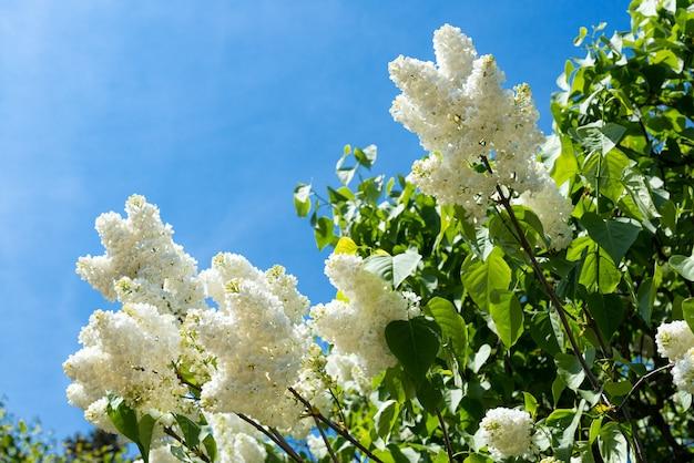 咲くライラックの枝