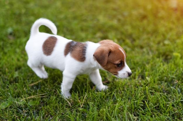 Джек рассел собака на траве луг. маленький щенок гуляет в парке, лето