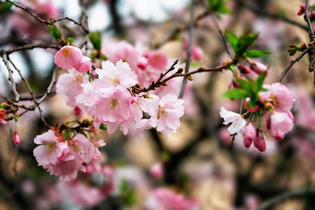 Красиво цветущее японское вишневое дерево