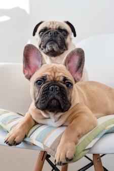 Счастливая собака мопса любимчиков и французский бульдог сидя на стуле смотря камеру. собаки ждут еду на кухне