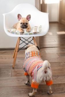 Счастливые домашние животные французский бульдог и мопс собака, одетая в вязаный свитер дома, ждет своего хозяина. смешные собаки готовы выйти на улицу. одежда для собак, мода