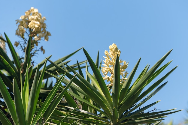 咲くヤシの木ユッカ。青い空を背景に長い緑の葉と白いエキゾチックな花。スペイン。